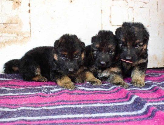 Registered German shepherd puppies