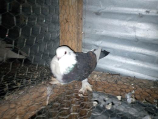 health short break female pigeon