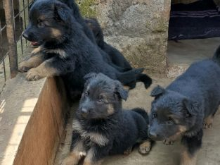 Purebreed Shepherd Puppies